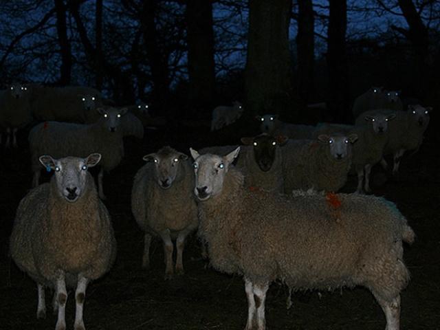 Sheep At Night Are Scary (20 pics)