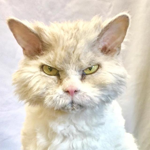 Pompo Albert az Angriest Cat a Instagramon (20 kép)