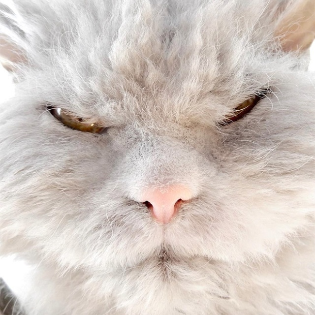 Pompous Albert Is The Angriest Cat on Instagram (20 pics)
