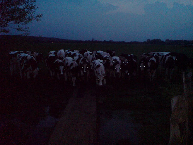 Cows At Night Look Scary (20 pics)