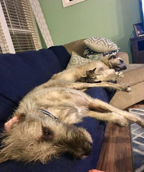 Irish Wolfhounds Are Both Funny (45 pics)