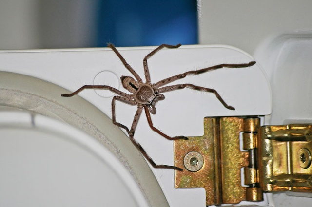 Guy Accidentally Sat On A Toilet With A Huntsman Spider In It (20 pics)