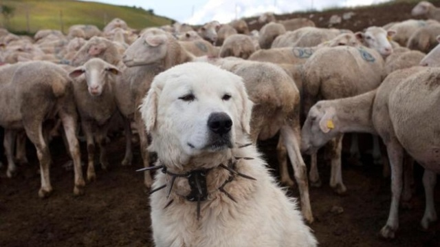 Collar Against Wolves (4 pics)