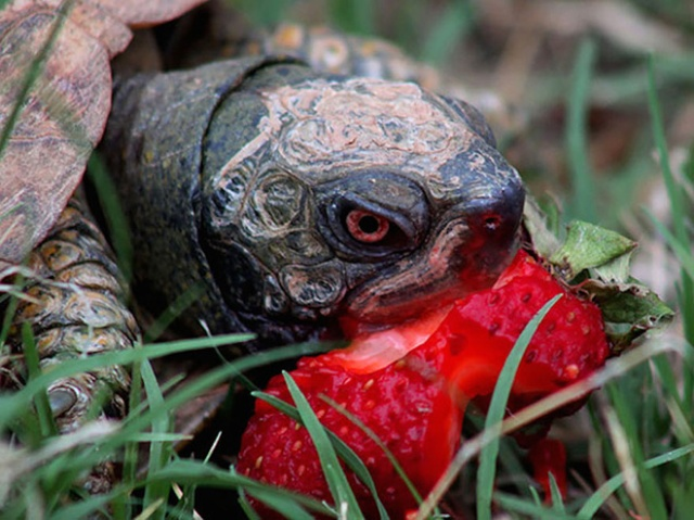 Animals Eating Strawberries (19 pics)