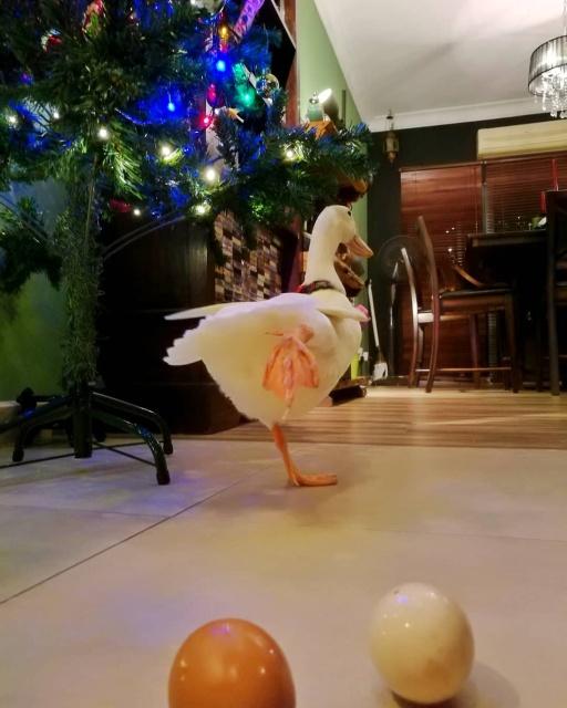 Pet Duck Daisy From Malaysia (11 pics)