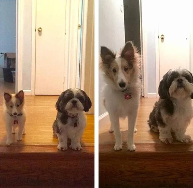 When Dogs Grow Big (27 pics)