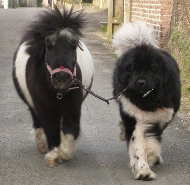 Newfoundlands Are Amazing (30 pics)