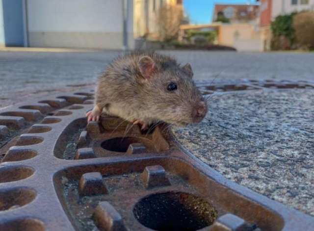 Team Of Fire Fighters Rescue Fat Rat Stuck In German Manhole (4 pics)