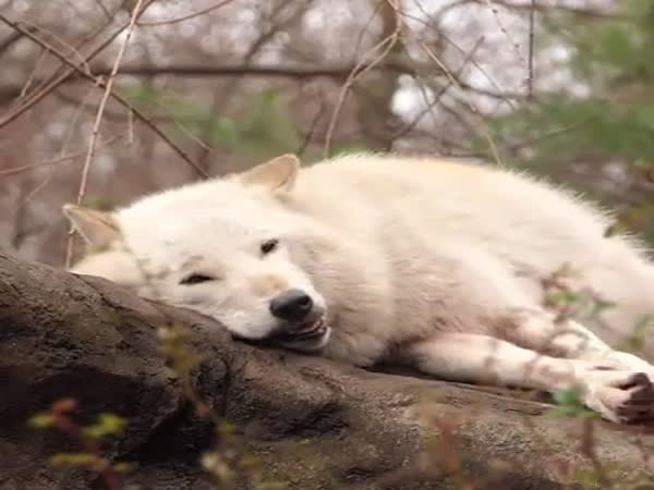 Lazy Wolf Does An Awoo