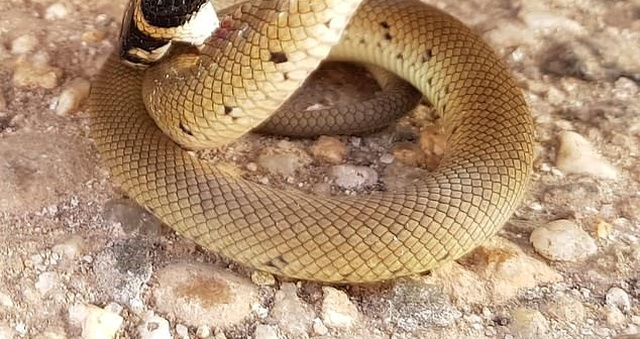 Redback Spider Vs Eastern Brown Snake (2 pics)
