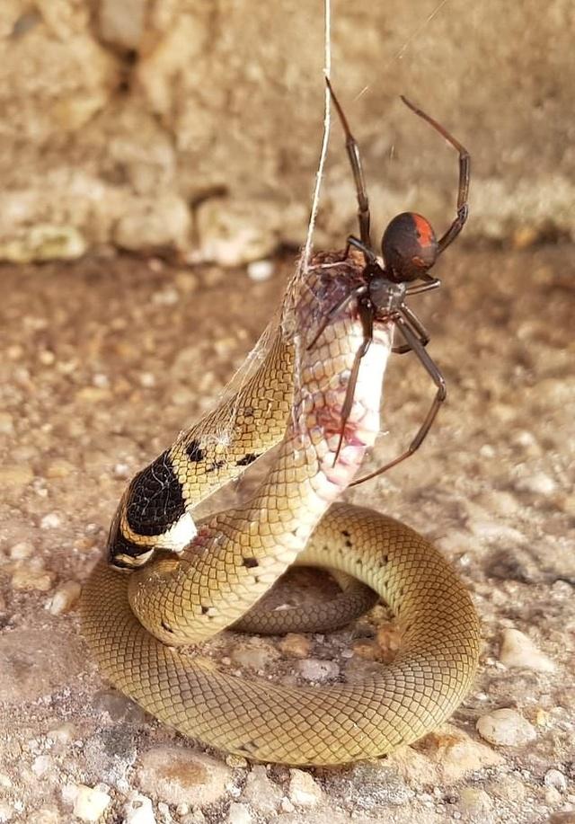 Redback Spider Vs Eastern Brown Snake (2 pics)