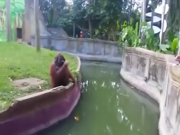 Clever Orangutan Makes A Fair Trade With Human