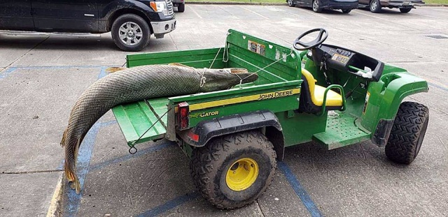 Giant Alligator Gar Caught in Lafreniere Park, Louisiana (6 pics)