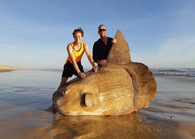 Giant Sunfish Is Found Washed Up On A Deserted Beach (3 pics)