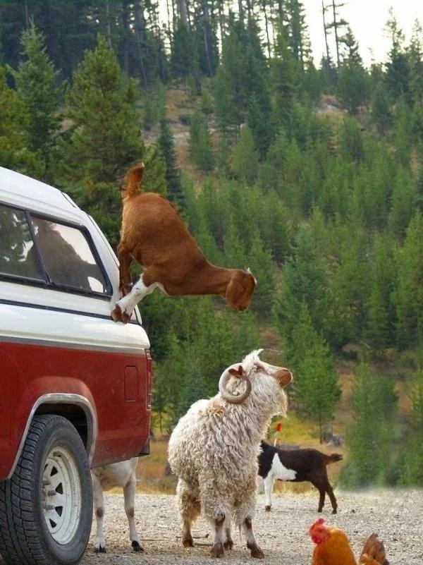 Goat Parkour (21 pics)