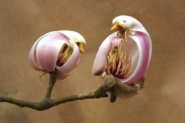 Magnolia Flower Looks Like A Bird (3 pics)