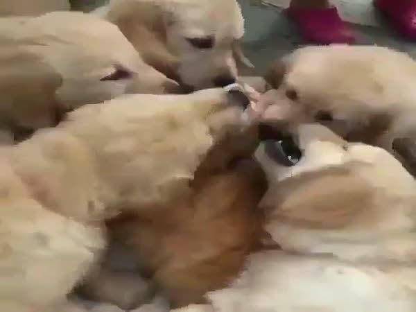 Golden Retrievers Devour A Little Kitten