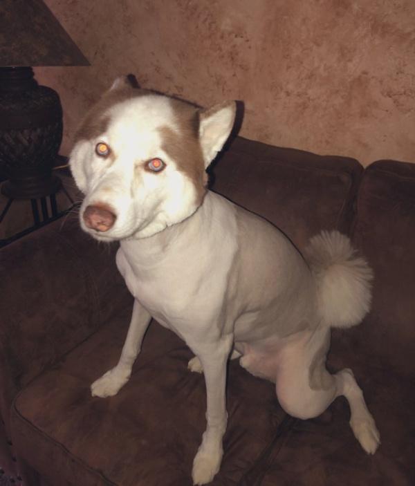 Husky Gets Haircut (5 pics)