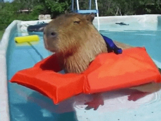 Capybaras Are Awesome (12 gifs)
