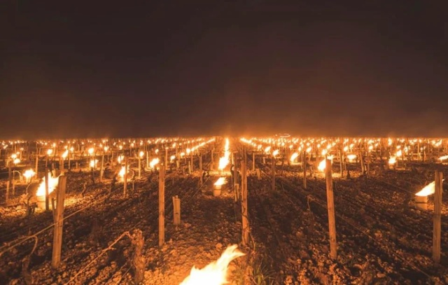 Bonfires Burn In French Vineyards To Protect Them From Frost (2 pics)