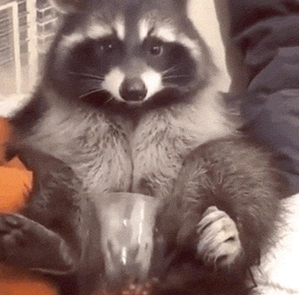 Raccoon GIFs (16 gifs)