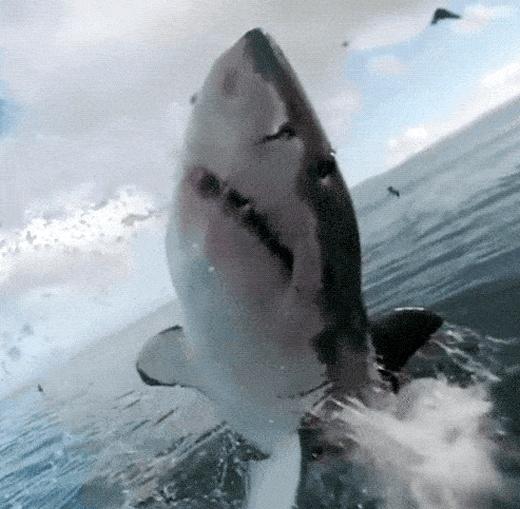 Amazing Sharks (15 gifs)