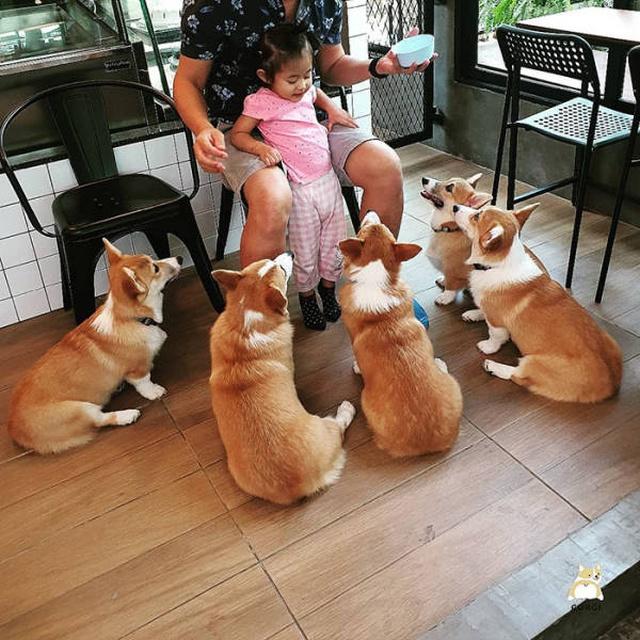 Corgi Café In Thailand (15 pics)