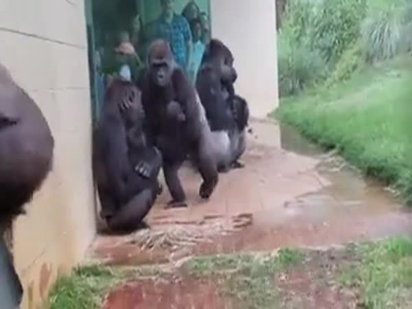Gorillas Don't Like Rain Very Much