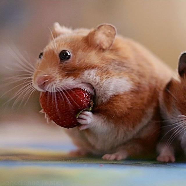Funny Hamsters (20 pics)