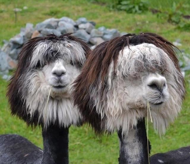Alpacas and Llamas (20 pics)