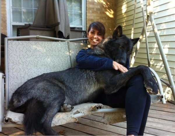 Big Dogs That Don't Know How Big They Are (34 pics)