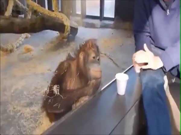Orangutan Laughing At A Magic Trick