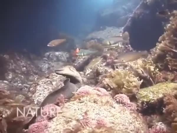 Octopus Rides Moray Eel To Avoid Its Deadly Jaws