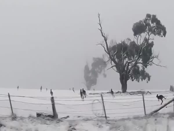 Its Not Every Day That You Get To See Kangaroos Hopping In The Snow