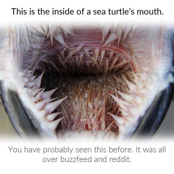 Why Sea Turtles Have Such Awful-Looking Mouths (7 pics)