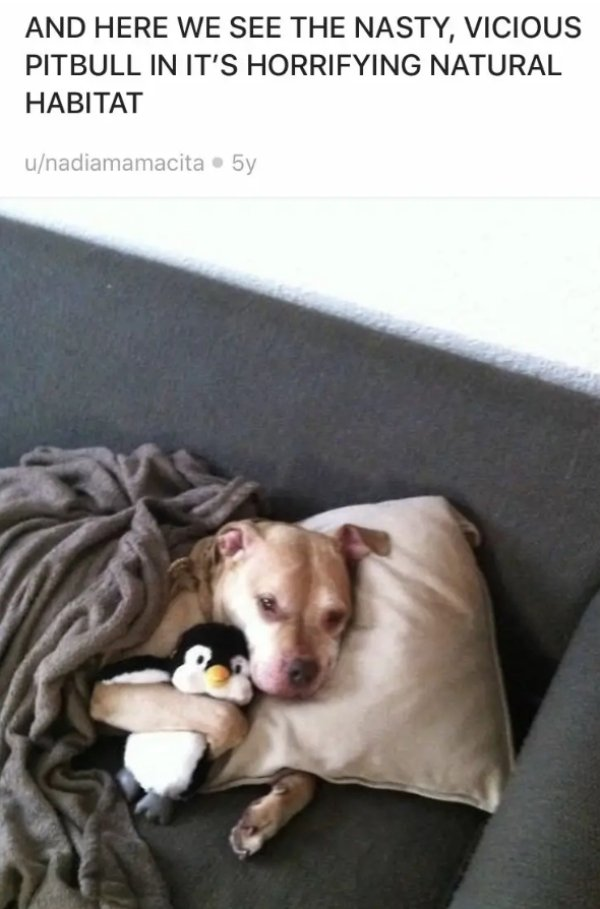 Pit Bulls Are Super Cute! (30 pics)