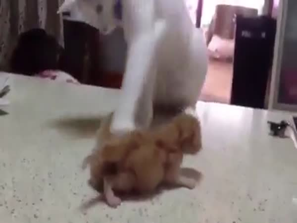 Dad Cat Really Want To Play With Kittens