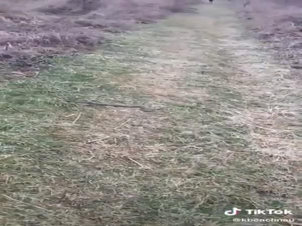 Dobermans Vs. Snakes