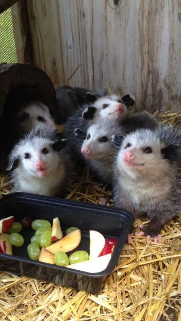 Some Funny Possums (51 pics)