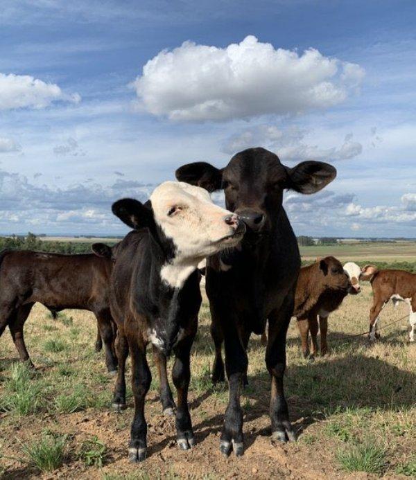 Funny Cows (28 pics)