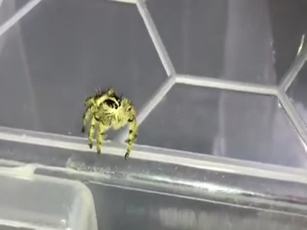 Tiny Super Spider Catches Fly