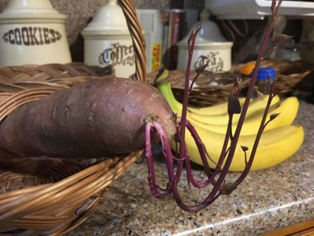 Sprouting Potatoes (31 pics)