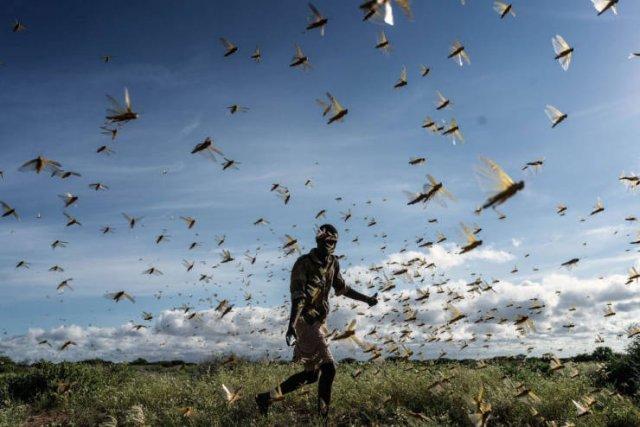 Locust Swarm Invasion In Africa (15 pics)