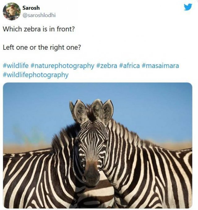 Which Zebra Is In Front On This Photo (13 pics)