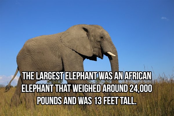 Facts About Elephants (22 pics)