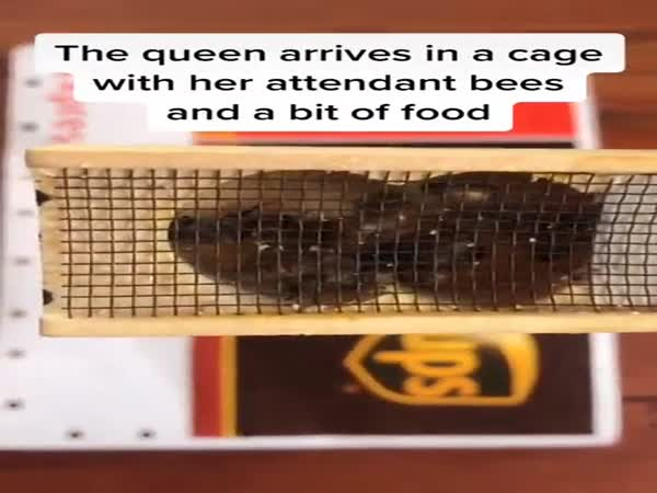 How A Queen Bee Is Introduced Into A New Colony
