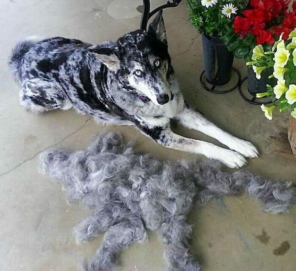 Shedding Dog Challenge (25 pics)