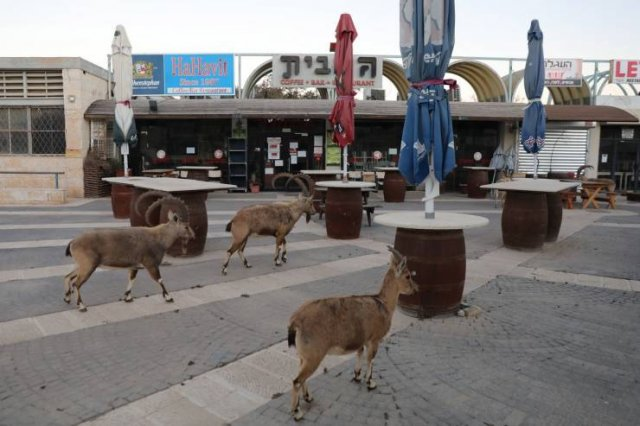 Israeli Town Occupied By Nubian Ibexes (19 pics)