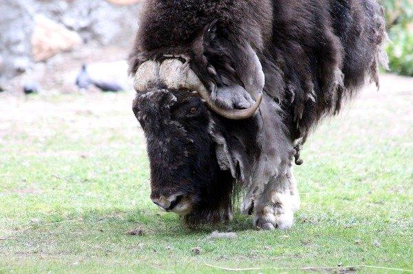 World's Strongest Animals (21 pics)