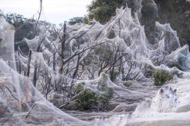 Spider Invasion In Australia (18 pics)